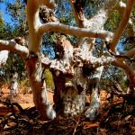 Eukaliptus Ghost Gum - nad rzeką Murchison - Australia Zachodnia