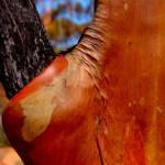 Eukaliptus River Red Gum - Holland Track - Australia Zachodnia
