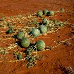 Świńskie melony (Pig Melons) - Canning Stock Route - Australia Zachodnia